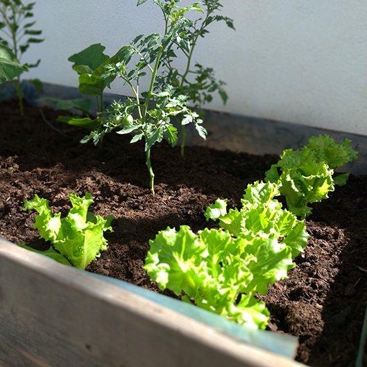 lettuce-tomatoes-michael-pambo-o-En5aGS1s9O0-unsplash-530-530